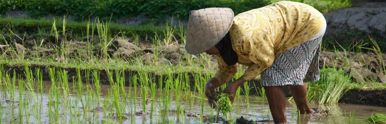 Rijstvelden omgeving Kroya